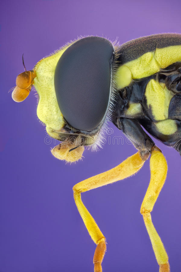 Hoverfly. Hoverflies, sometimes called flower flies, or syrphid flies, make up the insect family Syrphidae. As their common name suggests, they are often seen royalty free stock photo
