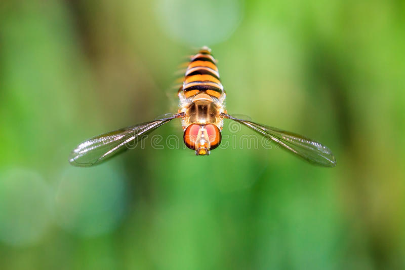 Hoverfly hovering royalty free stock image