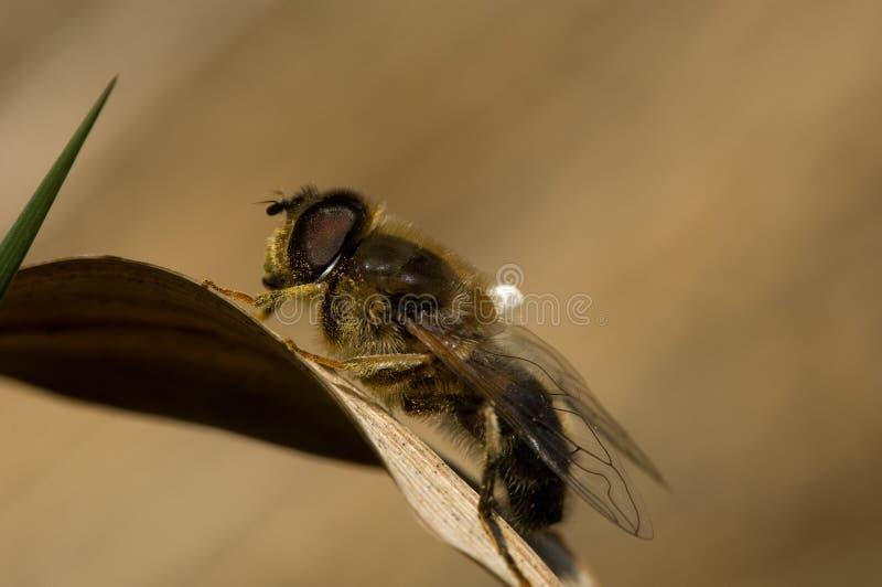 Hoverfly, Kegelbijvlieg, pertinax d'Eristalis photographie stock