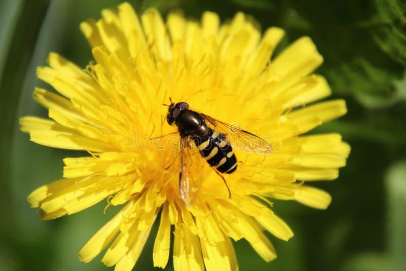 Hoverfly komarnica na żółtym dandelion obraz stock