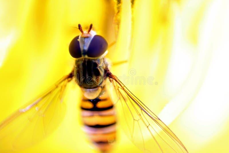 hoverfly marmalade royaltyfri fotografi