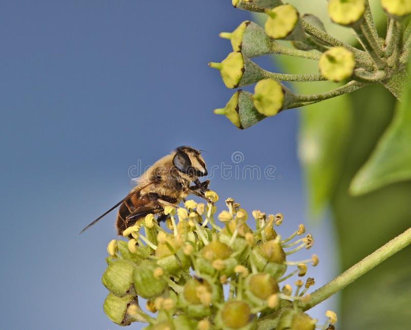 Hoverfly na bluszcza okwitnięciu obrazy stock