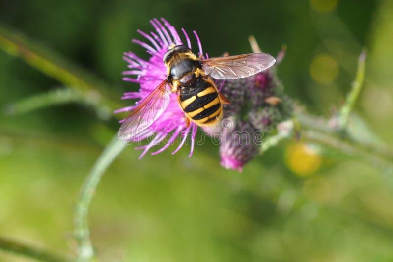 Hoverfly na lila osecie na łące fotografia stock
