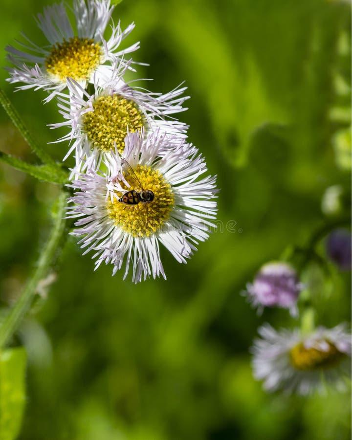 Hoverfly-Nahaufnahme auf Wildflower lizenzfreies stockfoto