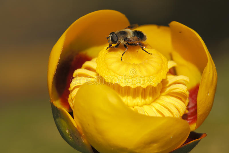 Hoverfly no lírio de lagoa amarela fotos de stock royalty free