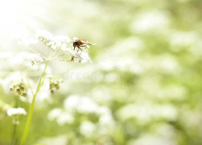 Hoverfly o ape che si siede su un fiore bianco della molla fotografia stock