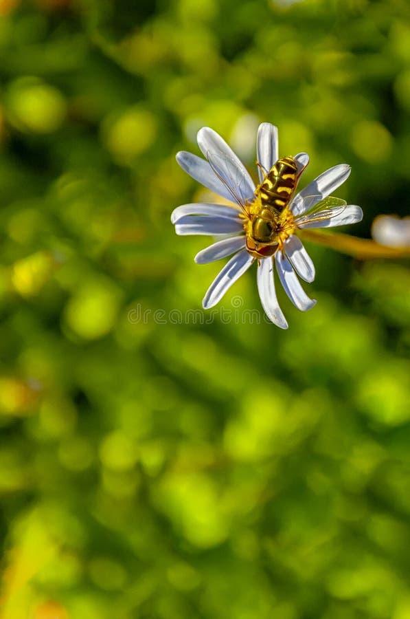 Hoverfly op roze bloem stock afbeeldingen