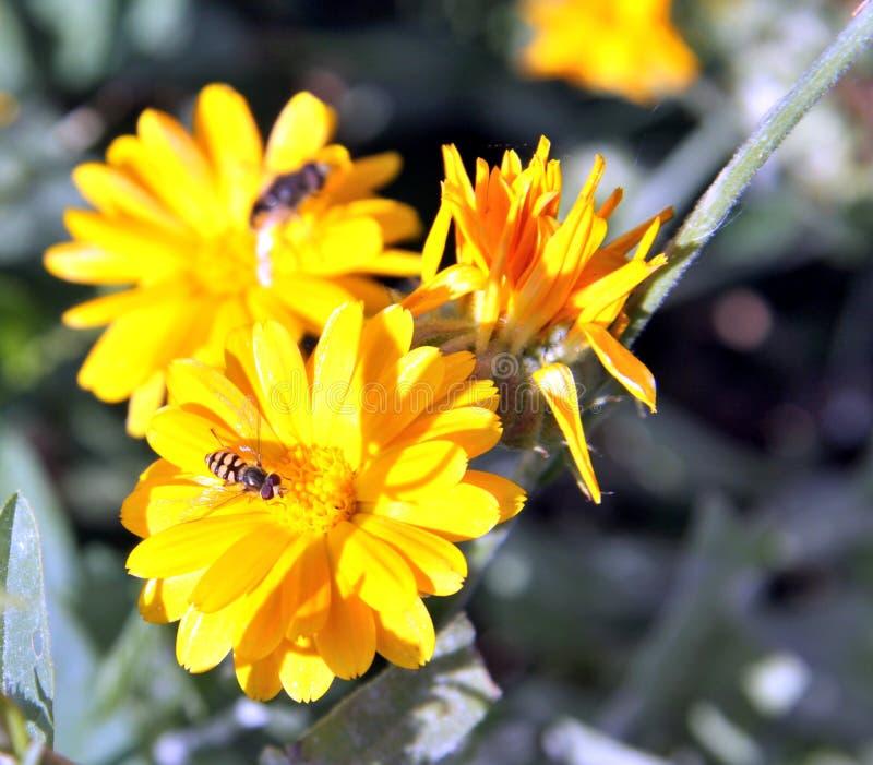 Hoverfly, ou mosca do syrphid na flor do Calendula fotografia de stock royalty free