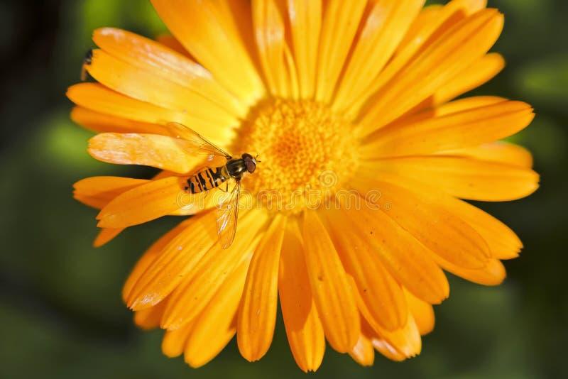 Hoverfly, ou mouche de syrphid sur la fleur de Calendula image libre de droits