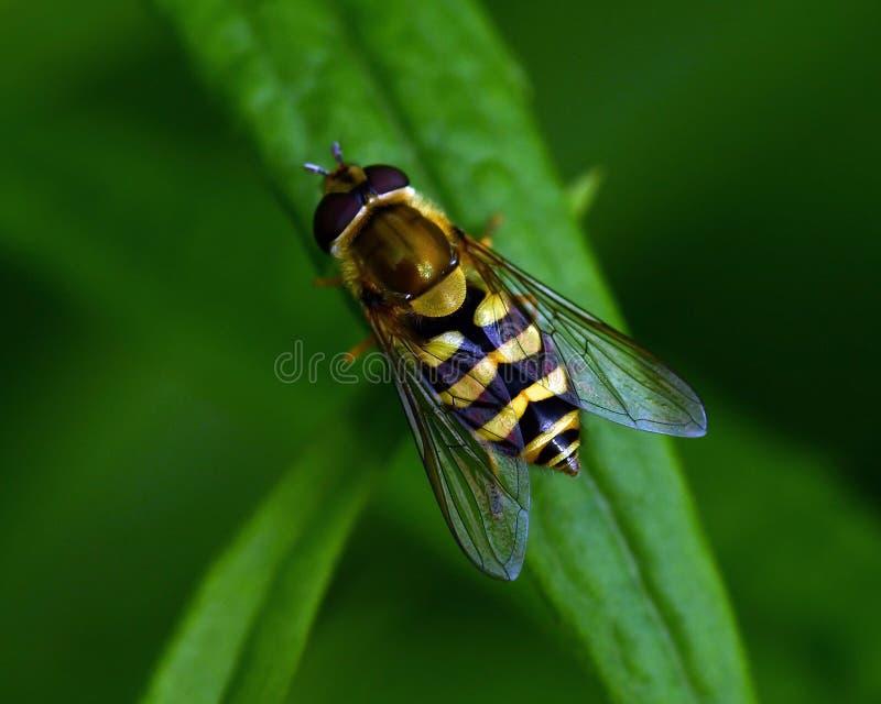 hoverfly Parasyrphus在一片绿色叶子 免版税库存图片