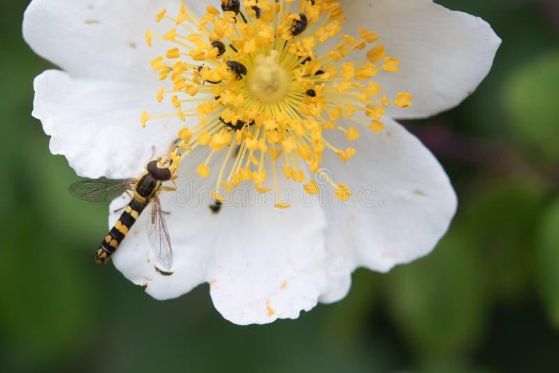 Hoverfly que alimenta en el polen del flor foto de archivo