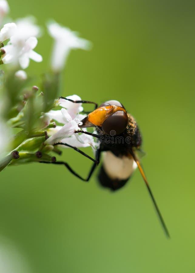 Hoverfly que alimenta en la valeriana común imagenes de archivo