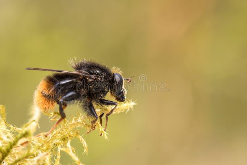 Hoverfly, ranuculi di Criorhina, maschio, sedentesi sul muschio verde con fondo verde molle fotografia stock libera da diritti