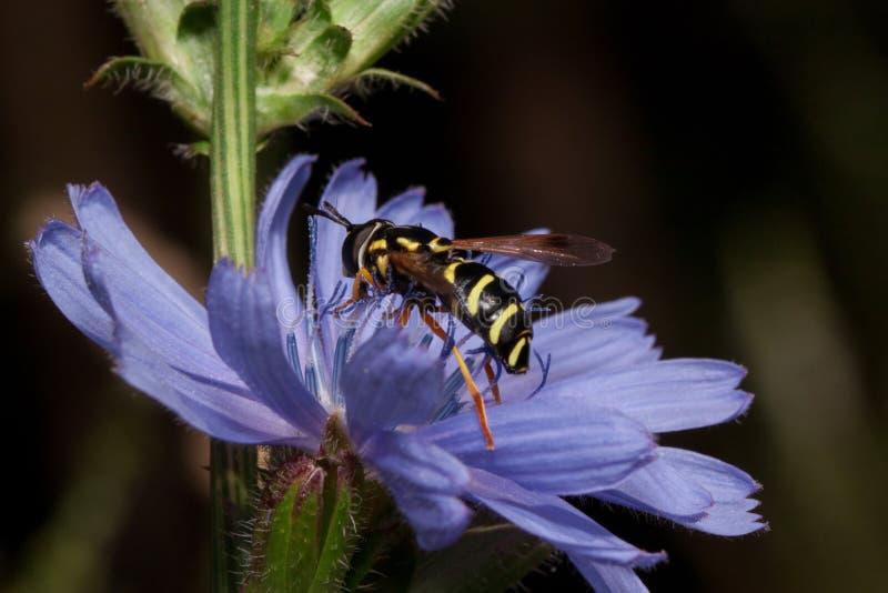Hoverfly samlar nektar från den härliga cikoriablomman arkivbild