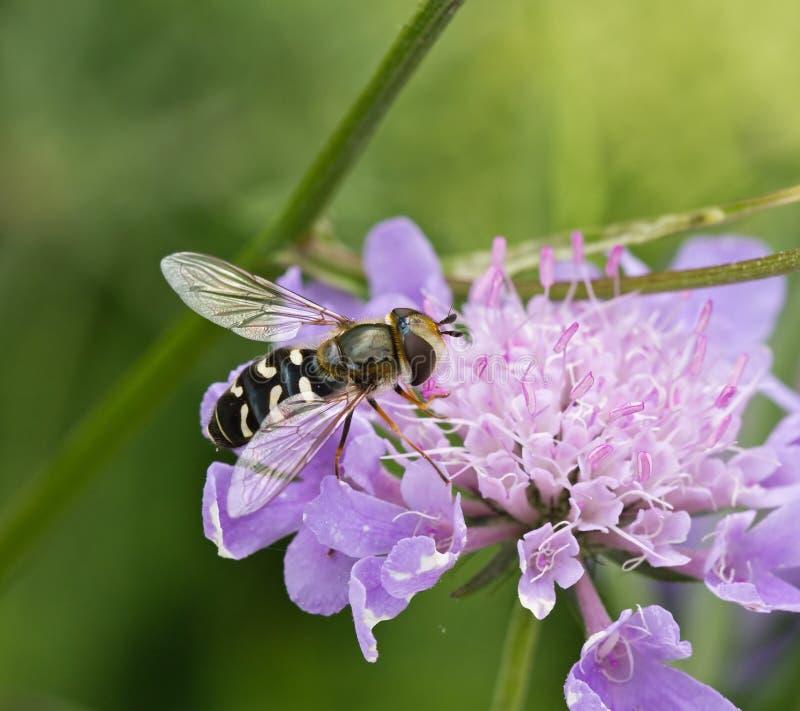 hoverfly scaeva pyrastri стоковое фото rf