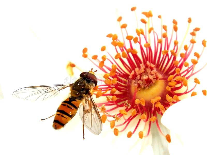 Hoverfly som matar av av en hund, steg fotografering för bildbyråer