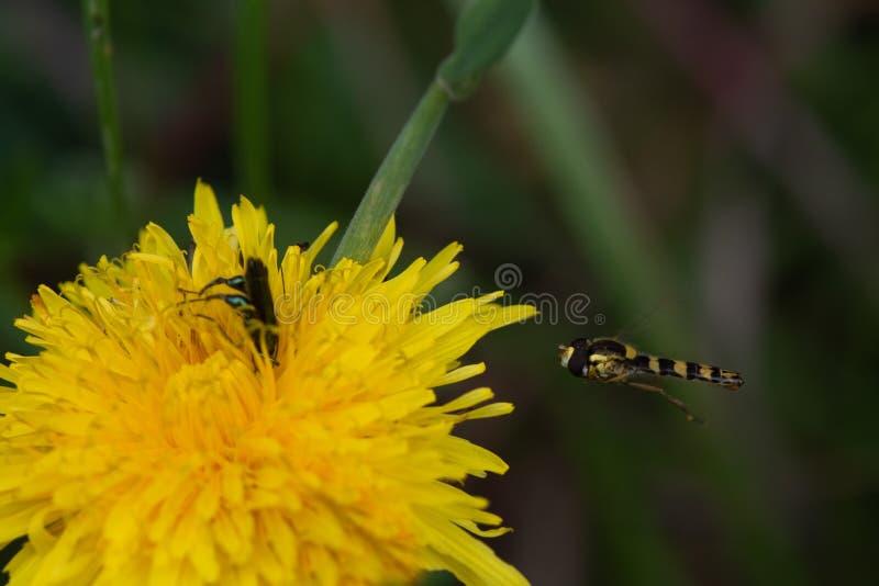 Hoverfly sphaerophoria interrupta Gotowy Lądować, Z samiec Oedemera Nobilis ścigą obraz stock