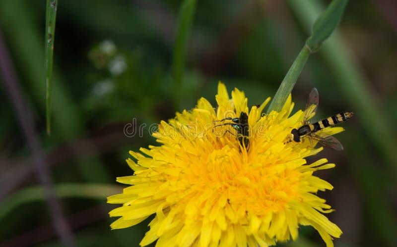Hoverfly sphaerophoria interrupta Na Dandelion, Z samiec Oedemera Nobilis ścigą obrazy stock
