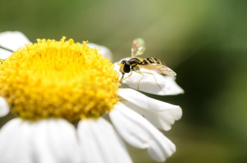 A Hoverfly, Sphaerophoria scripta, on a daisy stock photo