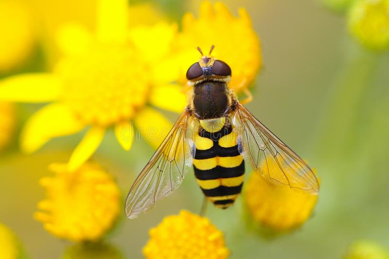 Hoverfly sul senecione fotografie stock