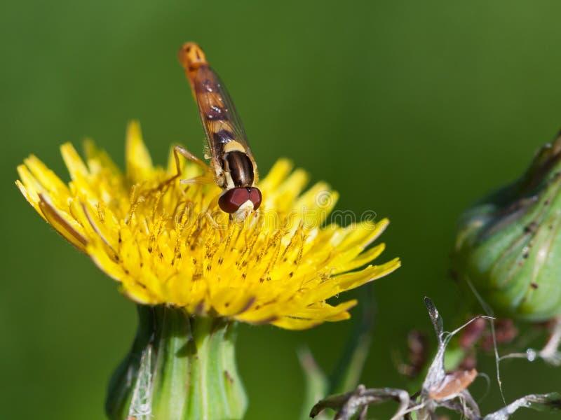 Hoverfly sulla fine gialla del fiore su fotografie stock