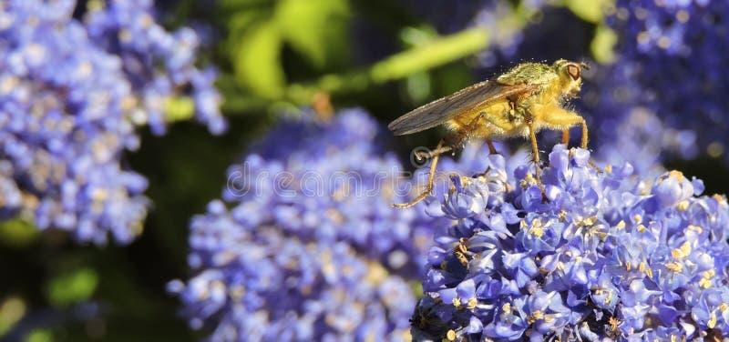 Hoverfly sur Ceanothus photographie stock