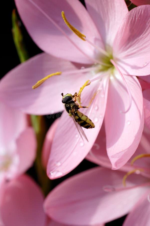Hoverfly sur le lis de kaffir photographie stock libre de droits