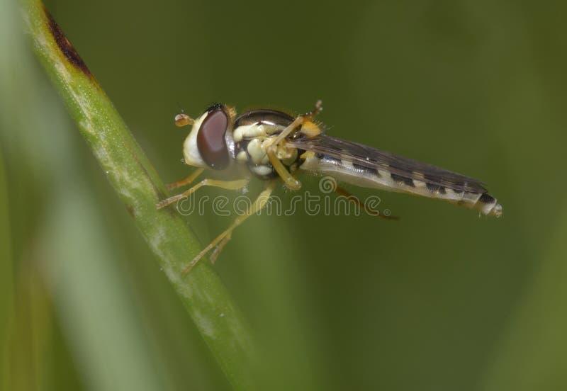 A hoverfly, Syrphidae, sitting on plant stem. One of its leg is up. Forest near Belogorodka village, Kievskaya oblast, Ukraine royalty free stock image