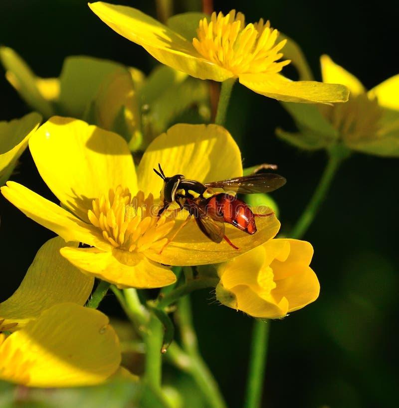 Hoverfly triarcuatum peculiare di chrysotoxum sui fiori del ranunculus fotografia stock
