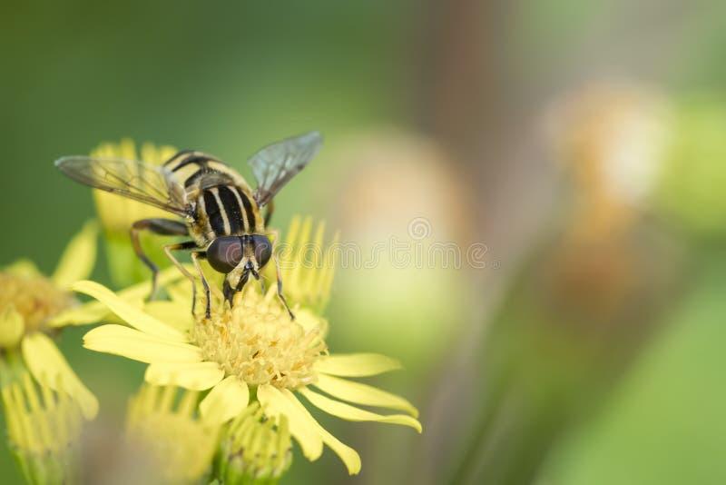 Hoverfly van de marmelade stock foto