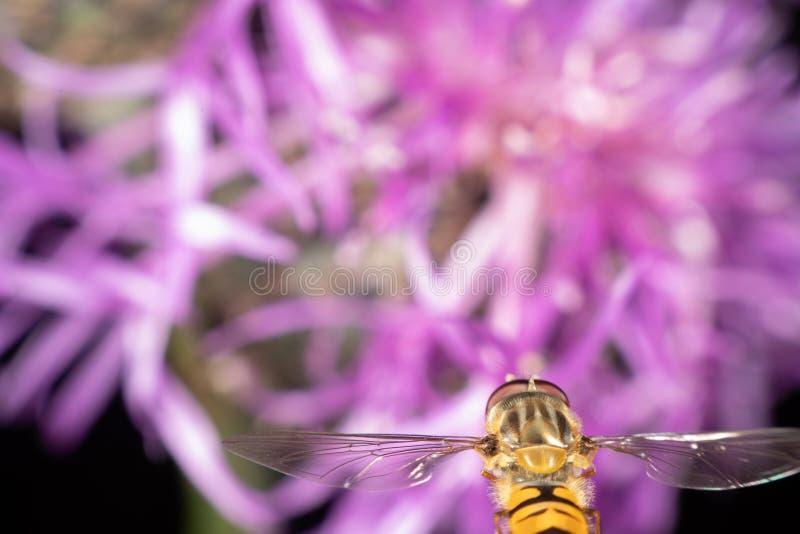 Hoverfly van de marmelade stock foto's