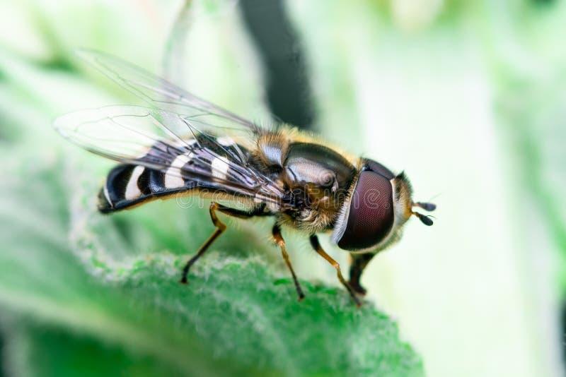 Hoverfly vilar precis överst av ett blad, Syrphidae arkivbilder