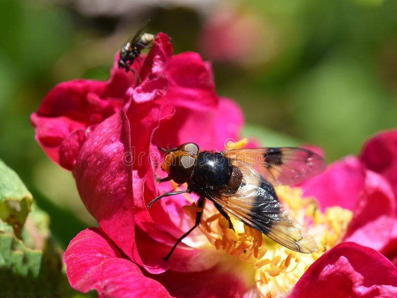 Mimicry Volucella bombylans hoverfly mimic bumblebee. The hoverfly Volucella pellucens sitting on a pink rose flower royalty free stock images