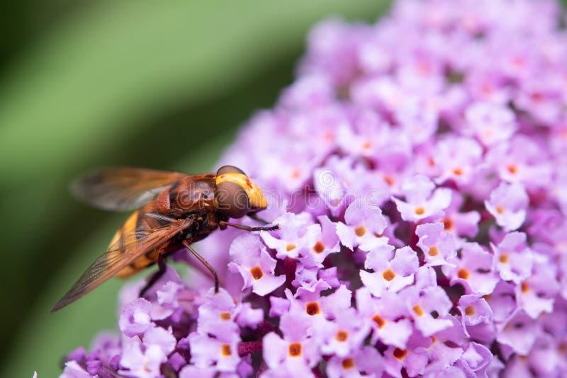 Hoverfly Volucella Zonaria que alimenta en el polen imagen de archivo libre de regalías