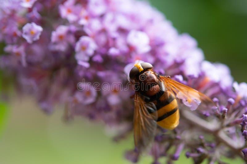 Hoverfly Volucella Zonaria que alimenta en el polen fotografía de archivo libre de regalías