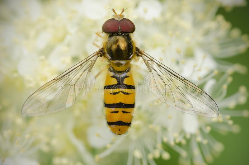 Hoverfly with wings spread stock photos