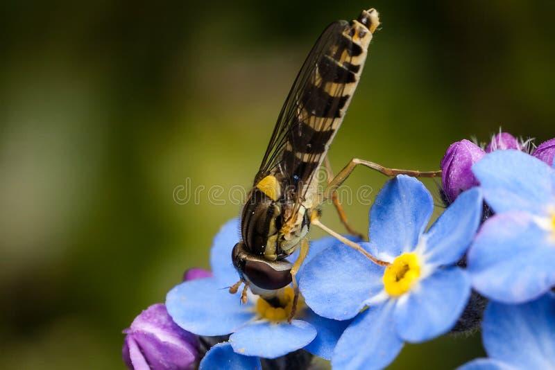Hoverfly y nomeolvides fotografía de archivo
