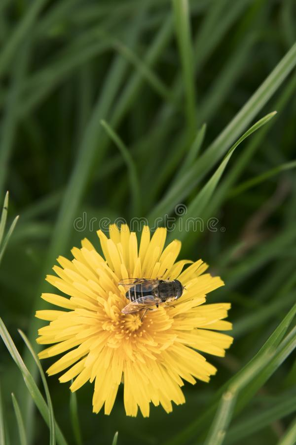 Hoverfly on a yellow flower royalty free stock photos