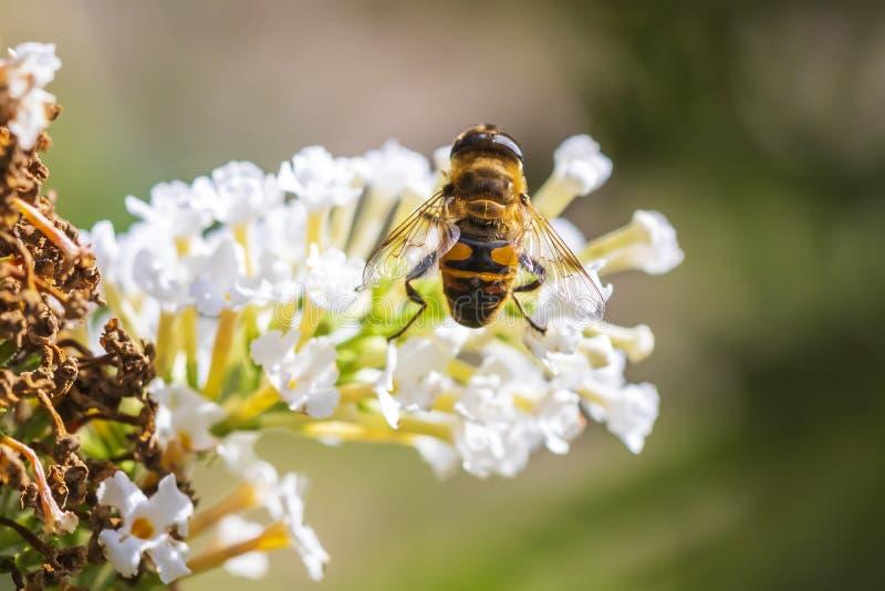 Hoverflybestuiving van Myathropaflorea op witte bloemen royalty-vrije stock afbeelding