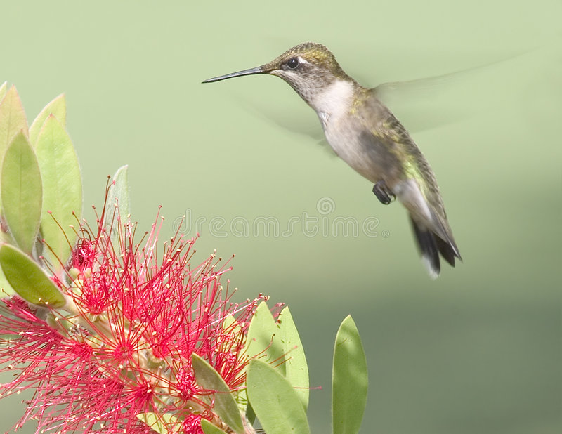 Hovering. Female hummingbird hovering over a bottlebrush bloom stock image