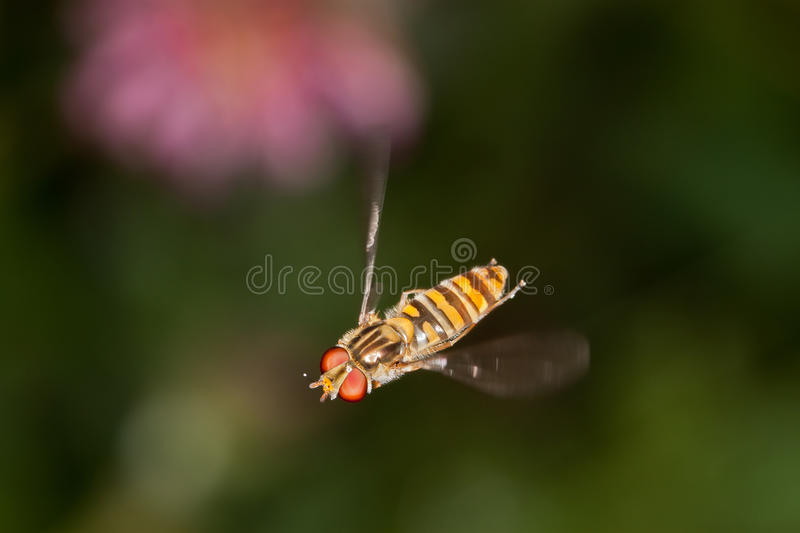 Hovering royalty free stock photography