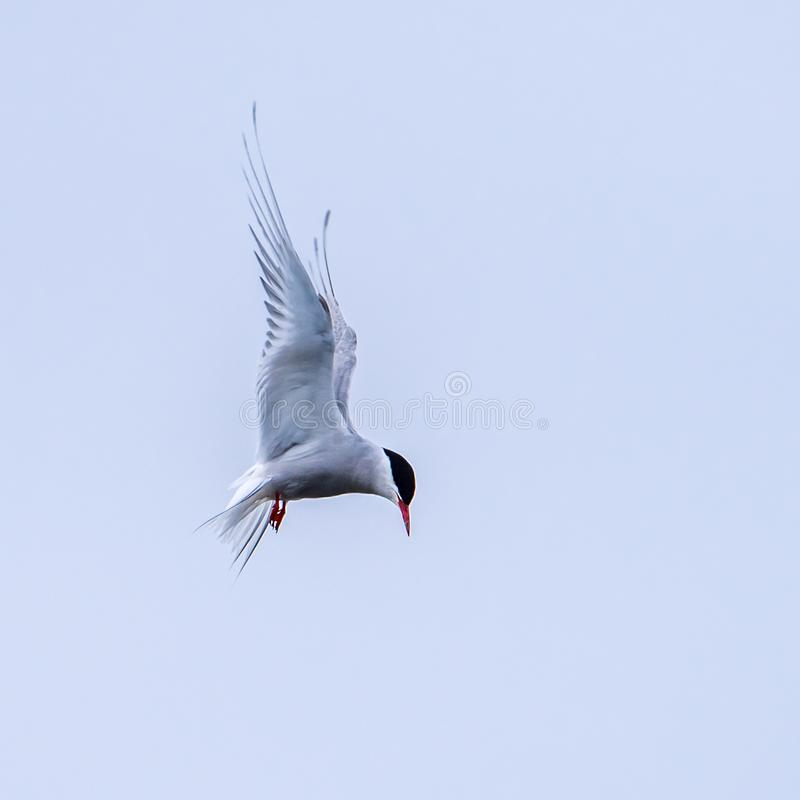 Hovering Arctic Tern. The Hovering Arctic Tern before the fast dive for prey, a small fish royalty free stock image