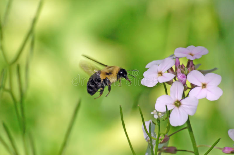 Hovering Bee. Bee cought in flight, hoovering in front of a purple flower stock images