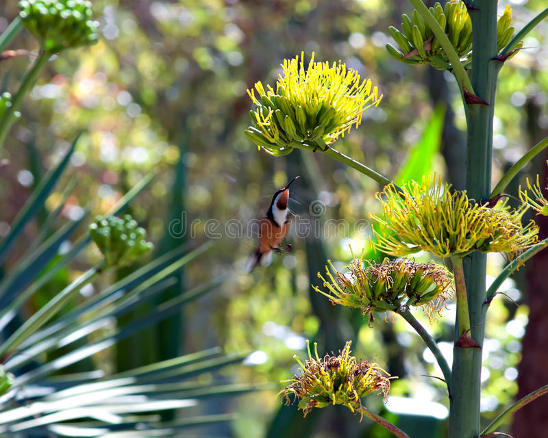 Hovering Bird. A hovering bird in a garden royalty free stock photography