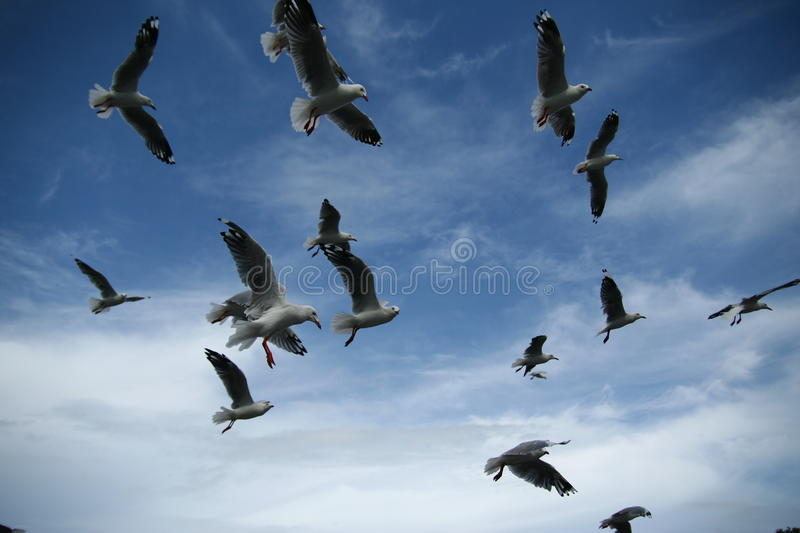 Hovering birds. Birds hovering in blue sky royalty free stock image