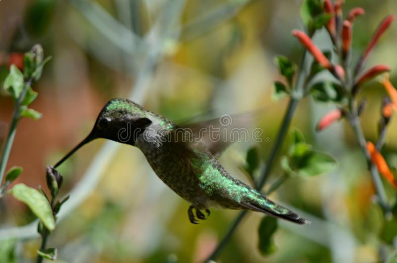 Hovering Broad-Tailed Hummingbird. Engaging closeup of a hovering broad-tailed hummingbird sipping nectar from a small flower blossom stock image