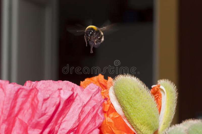 Hovering. A bumble bee hovering over a poppy stock photography