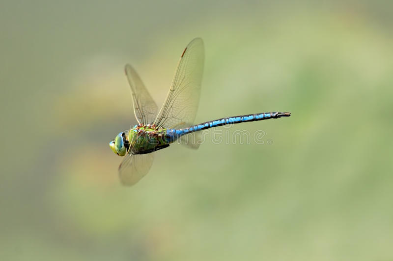Hovering dragonfly. A blue dragonfly hovering in midair royalty free stock images