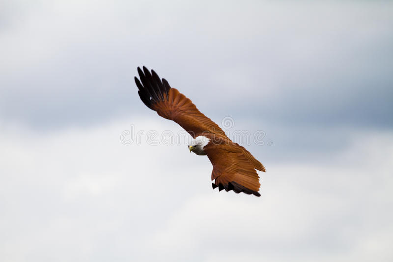 Hovering falcon stock image