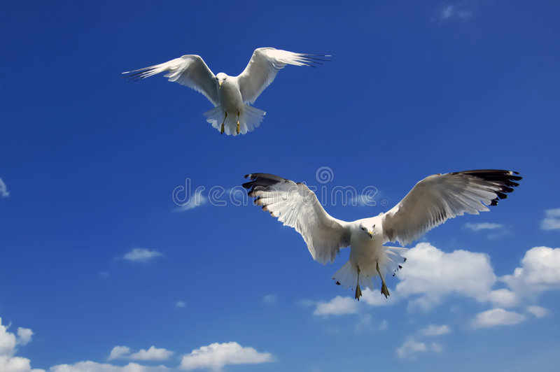 Hovering Gulls. 2 seagulls hovering overhead with wings open stock photography